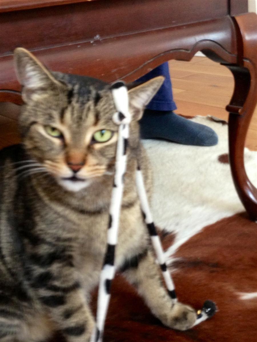 Lost Cat Tabby Toronto, ON, Canada M6C 3N9 Found cat