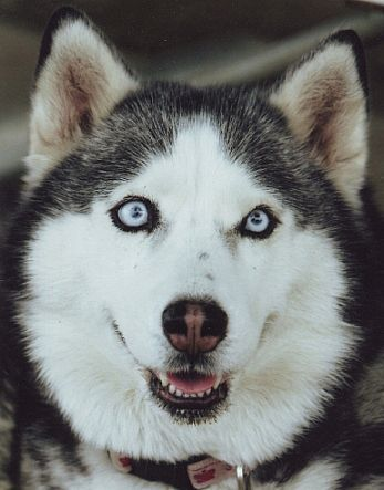 The Different Types Of Siberian Huskies Food And Drink Pinterest