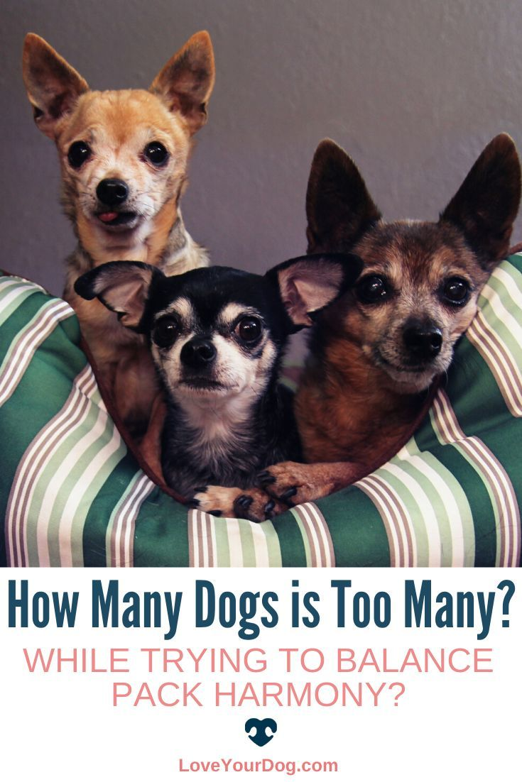 How many dogs are is just too much? Many factors will determine what the perfect number is when it comes to dog ownership. Find out what the answers are here! #LoveYourDog #DogOwnership #DogPack #HowManyDOgsIsTooMany #Dog #Dogs
