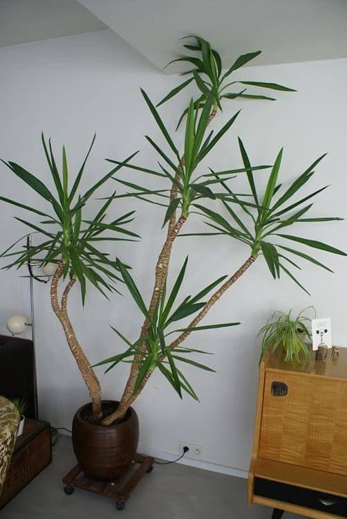 Yucca Elephantipes Spineless Yucca Stick Yucca Yucca Plant Yucca Plant Indoor Plants