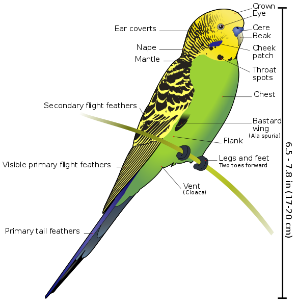 Anatomy of a Budgerigar | Reference (random) | Pinterest | Parakeets ...