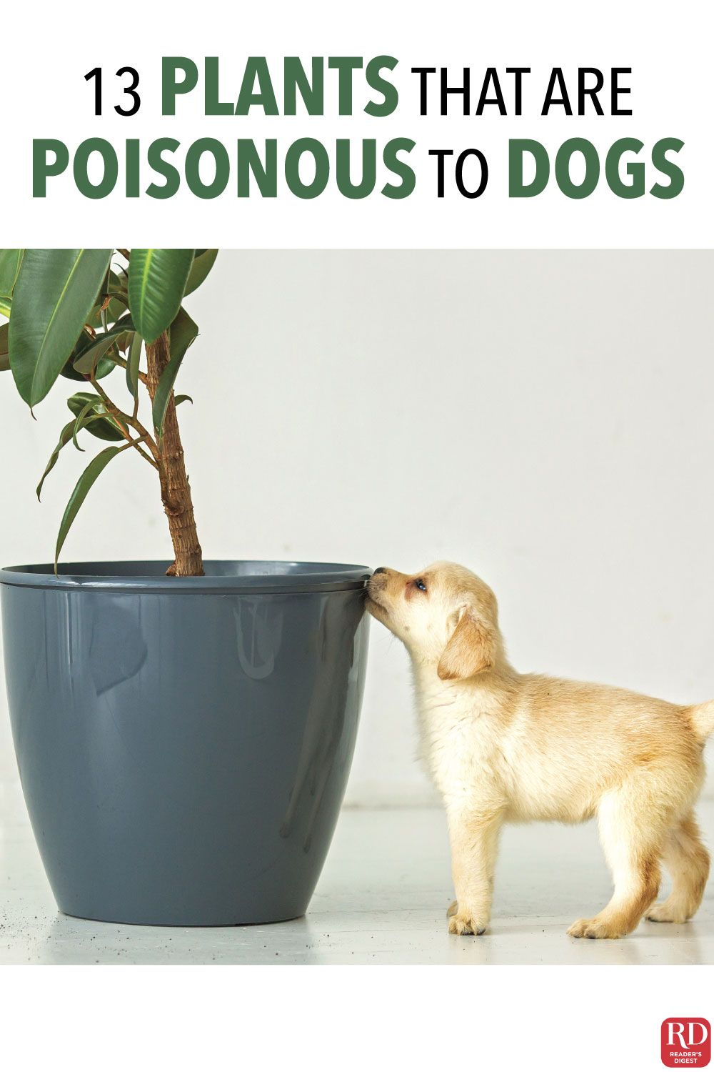 13 Plants That Are Poisonous To Dogs Your Dog Doesn T Know To Stay Away From Them Which Is Why They Shouldn T Be An In 2020 Dogs Plants Poisonous To Dogs
