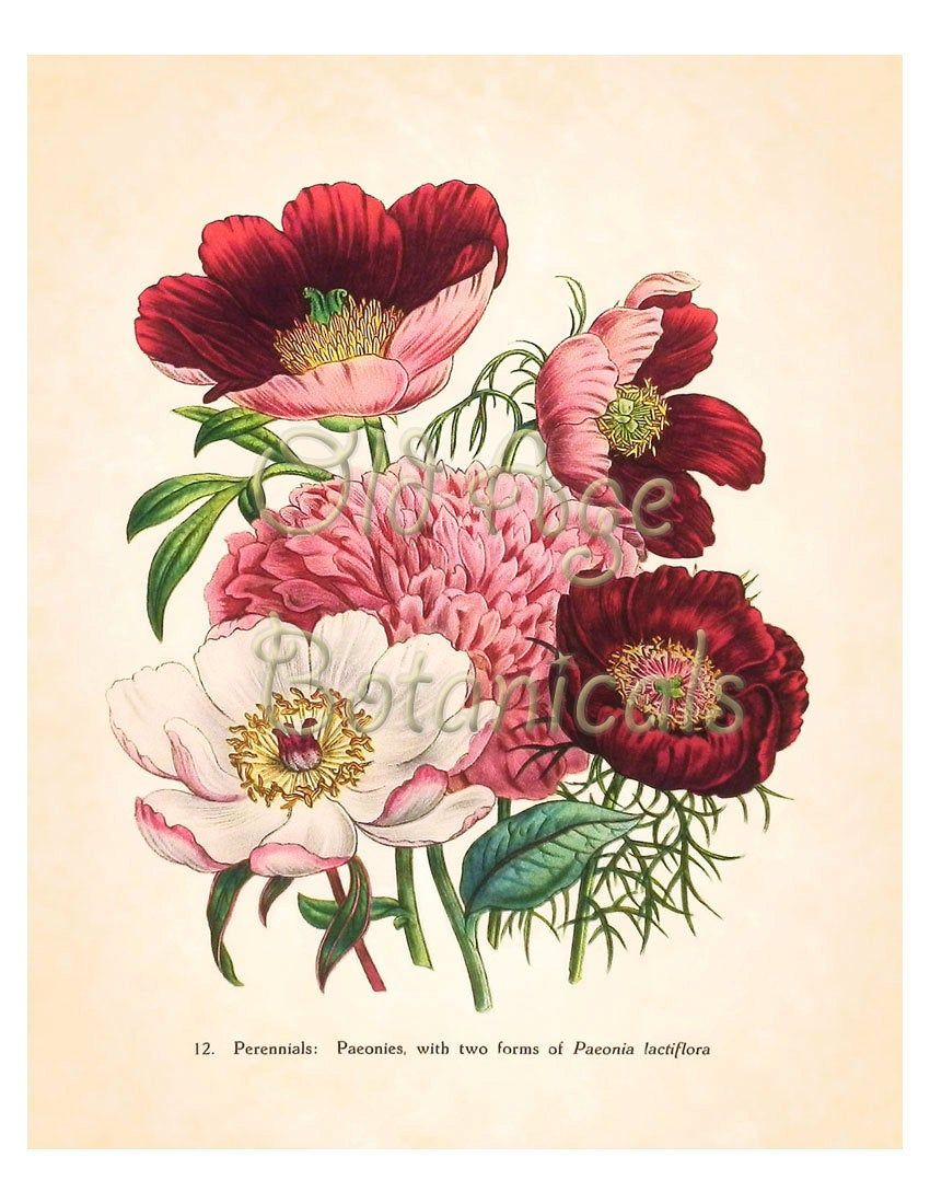 Jane LOUDON Bright Pink Red PEONY Botanical 8x10 Art Print Large Bouquet Beautiful Flowers Antique Kitchen Wall Decor Illustration BF1125