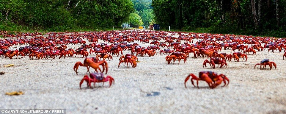 an estimated 120 million red crabs live on 52 square mile christmas island shared with just more than 2 000 residents