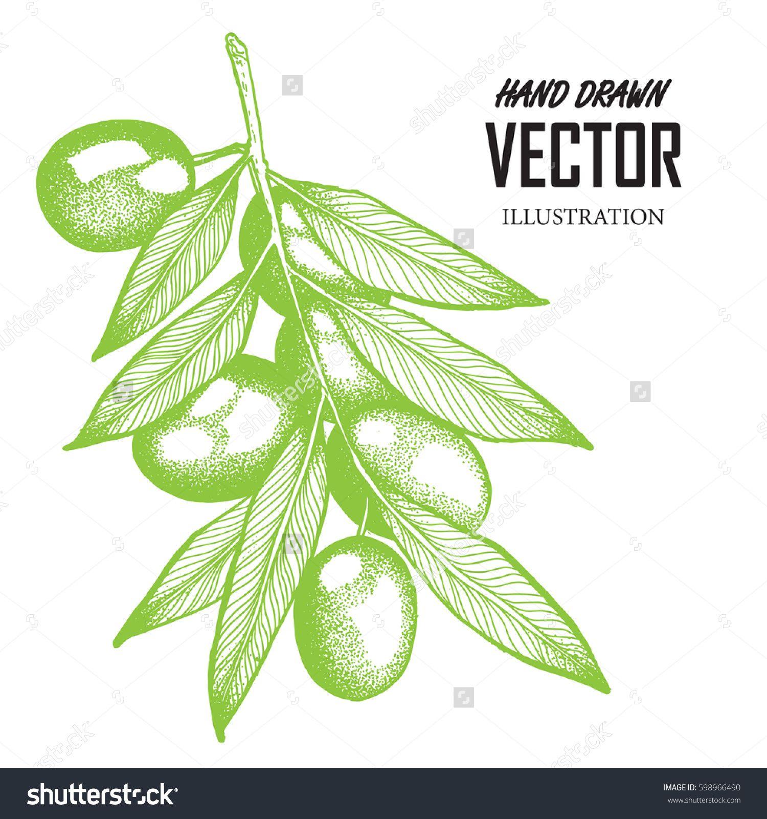 Big olive branch sketch vector illustration, olives hand drawn ...