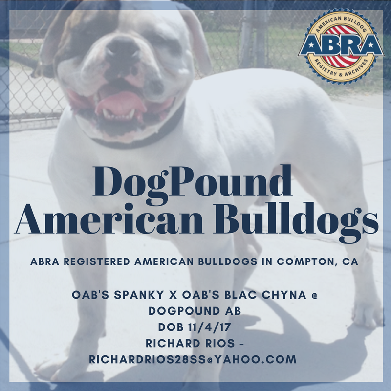 Abra Registered American Bulldog Puppies In Compton California Usa American Bulldog Puppies Bulldog Puppies American Bulldog