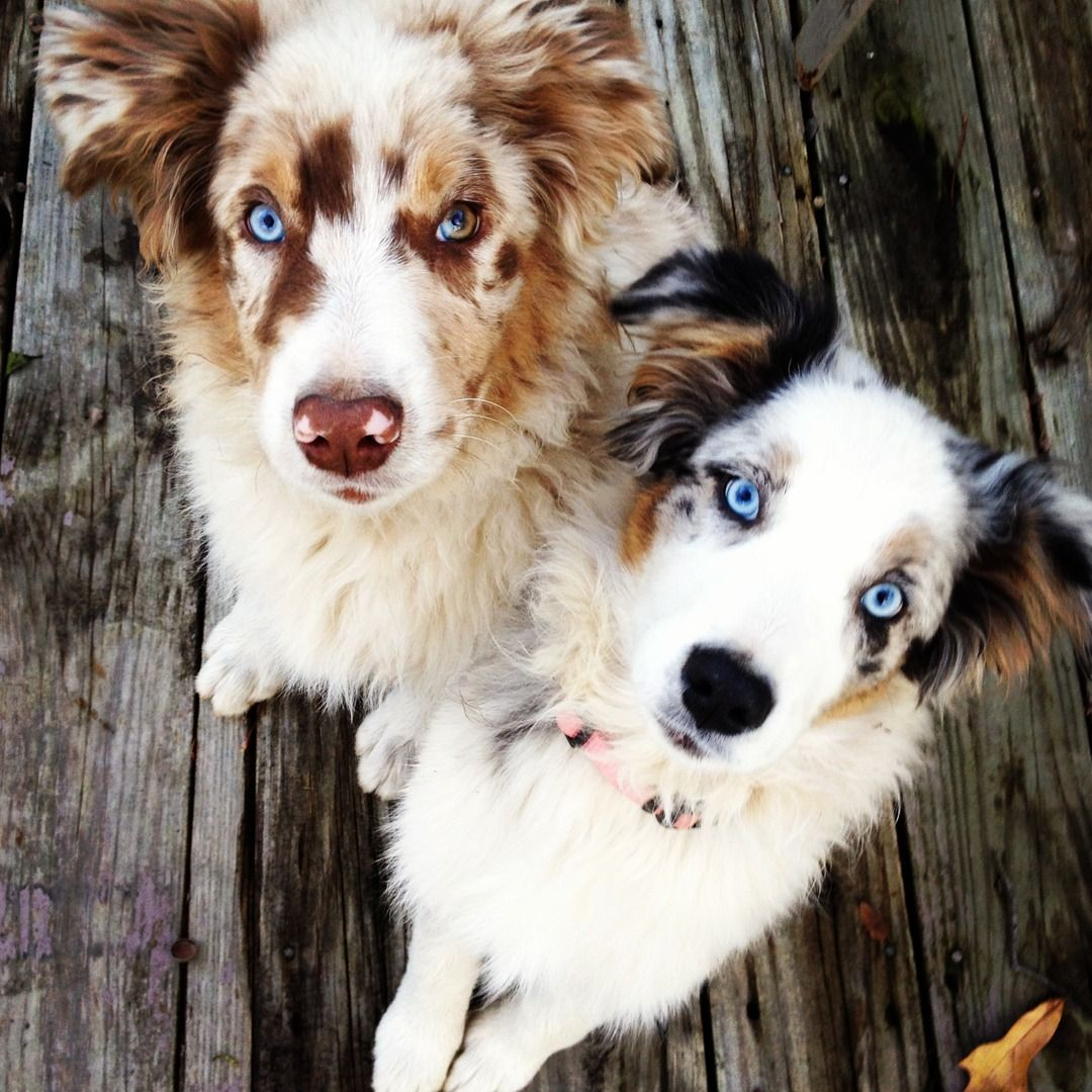 WHAT'S UP?!   Beautiful Red Merle & Blue Merle.