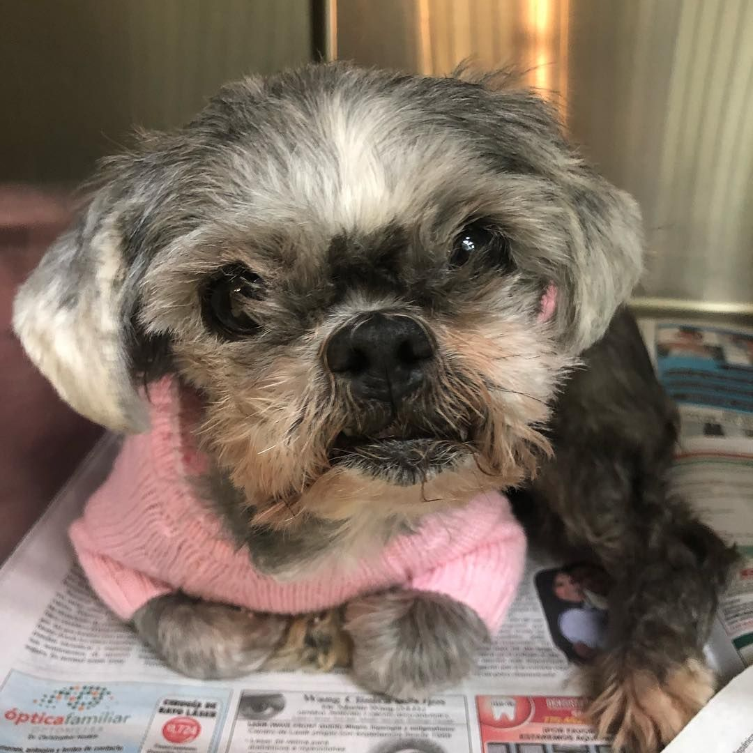 This Little Shih Tzu Is Gracie She S