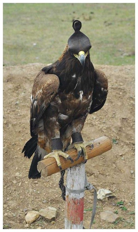 Hunting Eagle in Mongolia