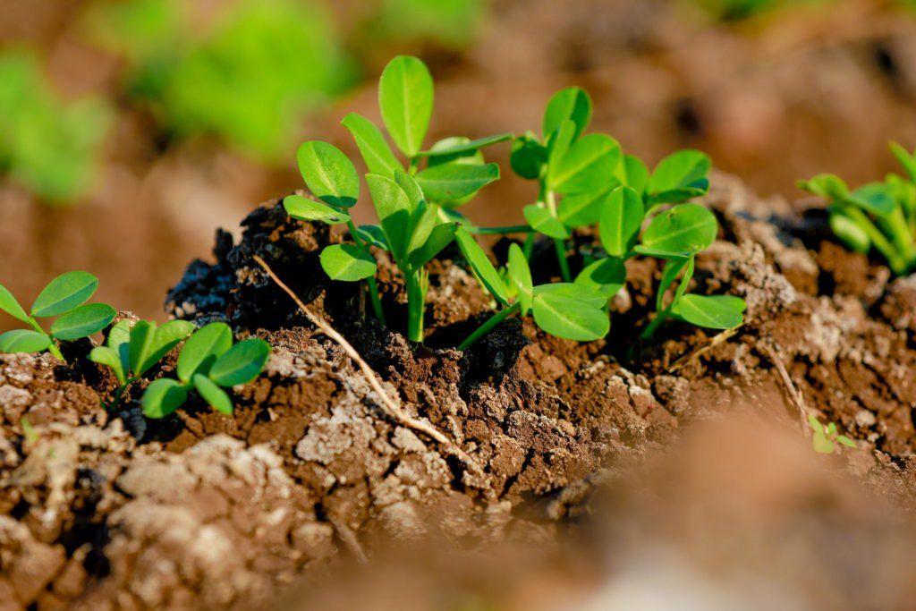 Erdnusse Anbauen Pflegen Ernten Plantura Gemuse Pflanzen Erdnusse Pflanzen Pflanzen