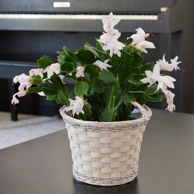 6 in. Dia. Spring Cactus in White Wash basket 48.95