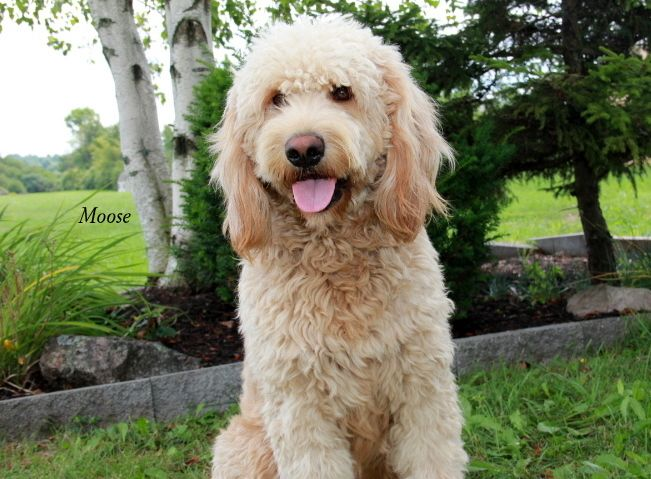 Ny Goldendoodle Puppies Selectively Bred For Health And Temperament