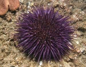 Sea Urchin - Bing Images