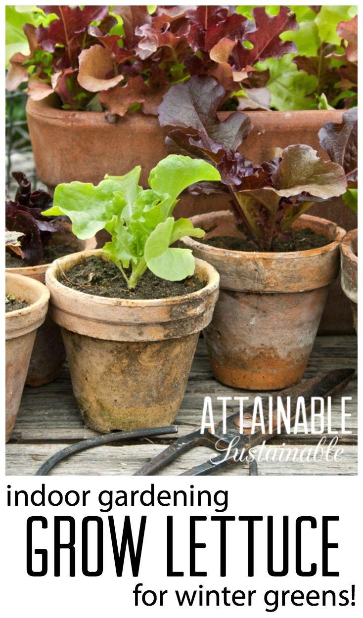 Grow lettuce indoors for winter salad greens. Garden ~ homestead ...