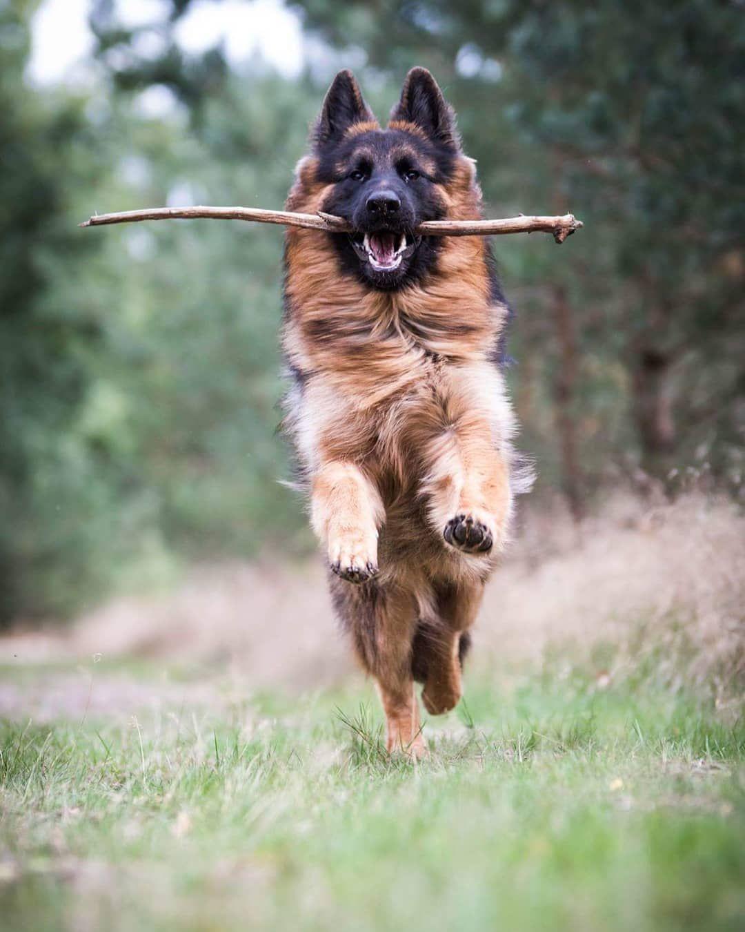 Gsd Cute Germanshepherddog Germanshepherd Germanshepherdpuppy