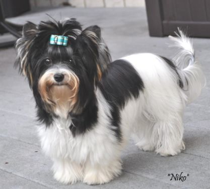 Bbir Biewer Boy Niko Dogs And Puppies Puppies For Sale Niko