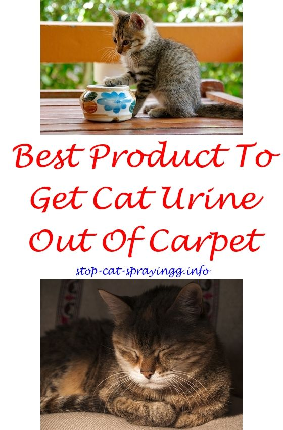 How to Get Cat Urine Out Of Carpet