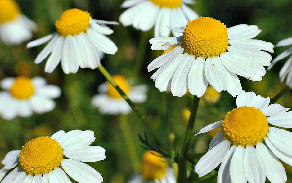 Chamomile Anti Inflammatory Effects Confirmed By Scientific Studies Chamomile Seeds Herb Seeds Chamomile Tea
