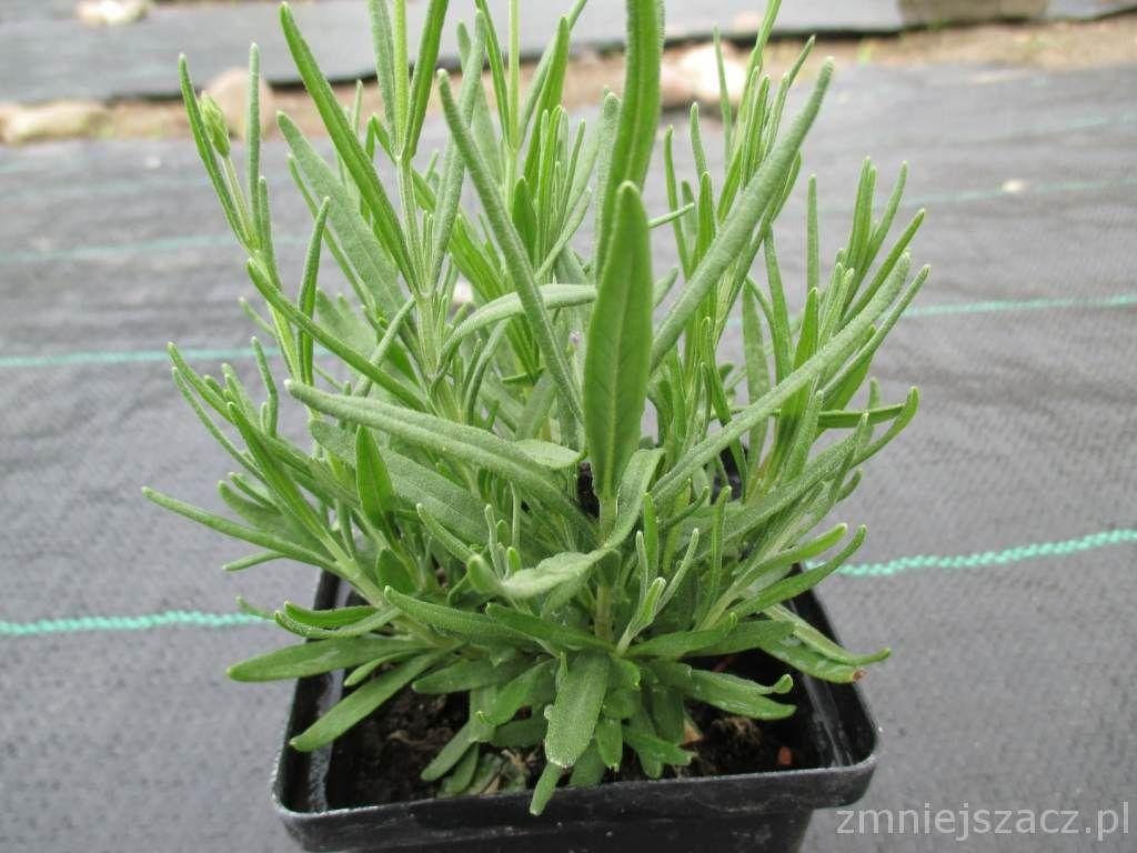 Lawenda Hidcote Sadzonki Gratis Przedsprzedaz 5904921786 Oficjalne Archiwum Allegro Plants Herbs Gratis