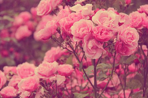 Found On Weheartit Com Via Tumblr Tickled Pink 2 Rose Background