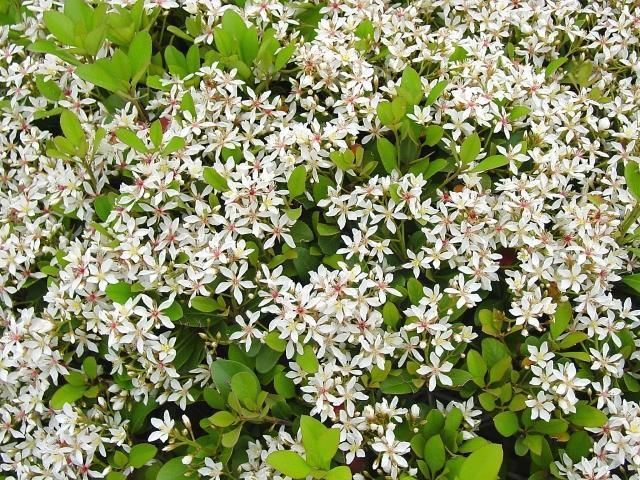 Ri Raphiolepis Intermedia White Indian Hawthorn X4 Shrubs Landscaping Plants Plants