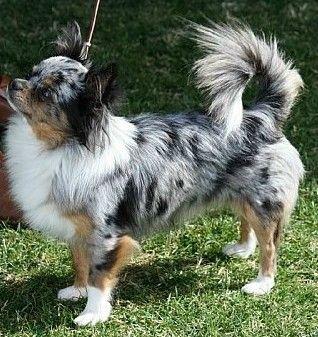 Black Merle Chihuahua Long Coat Long Haired Chihuahua Puppies
