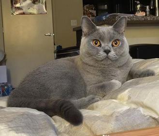 Www Silverbrookcattery Com British Shorthair Kittens Kittens For Sale Cats For Sale Cat Kitten British Shorthair Cats British Shorthair Kitten Adoption