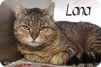 Media, PA - Domestic Shorthair. Meet Lana, a cat for adoption. http://www.adoptapet.com/pet/13039224-media-pennsylvania-cat