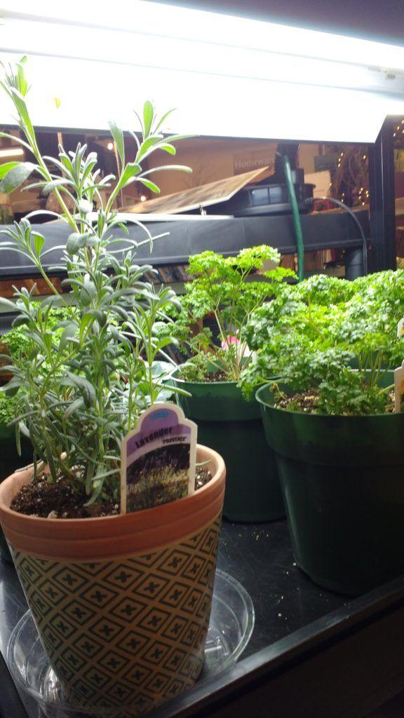 Indoor Herb Gardening With Images Herbs Indoors 640 x 480