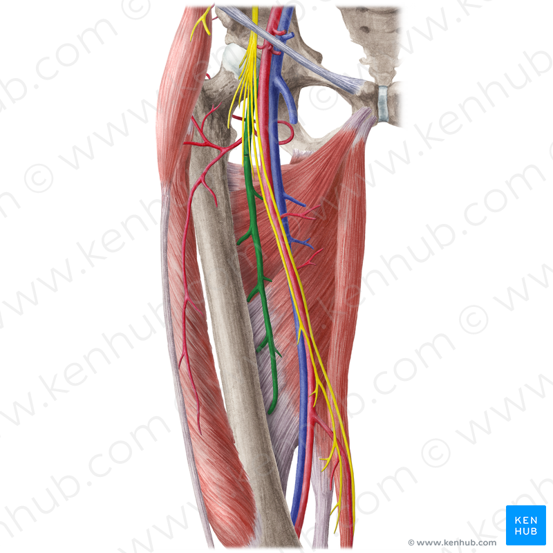 Deep femoral artery (Arteria profunda femoris); Image: Liene Znotina ...