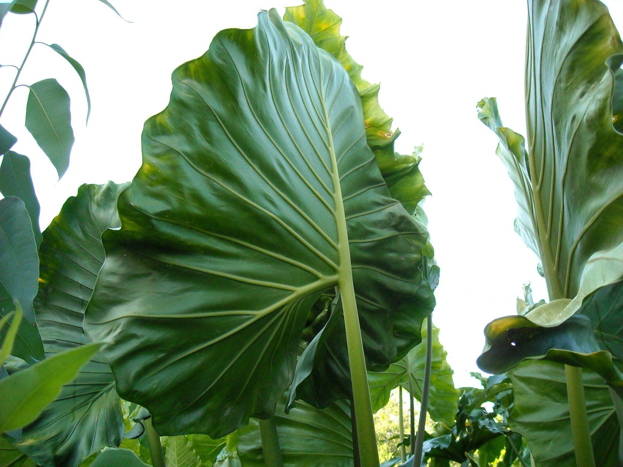 """Garden Bush: Alocasia """"Manta Ray"""""""