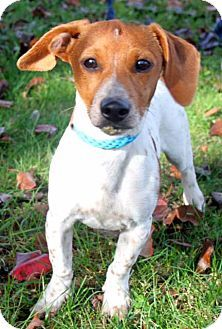 Spring Valley Ny Dachshund Jack Russell Terrier Mix Meet Puppy