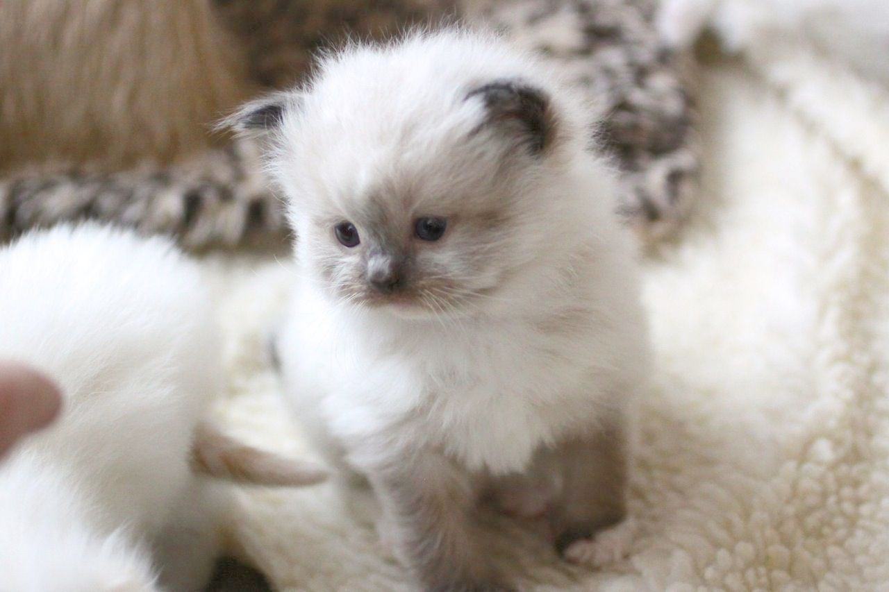 Cute Animals Wallpaper For Android Phone Per Cute Animals Names Within Adorable Names For Girl Kittens Kittens Cutest Ragdoll Kitten Cute Cats And Kittens
