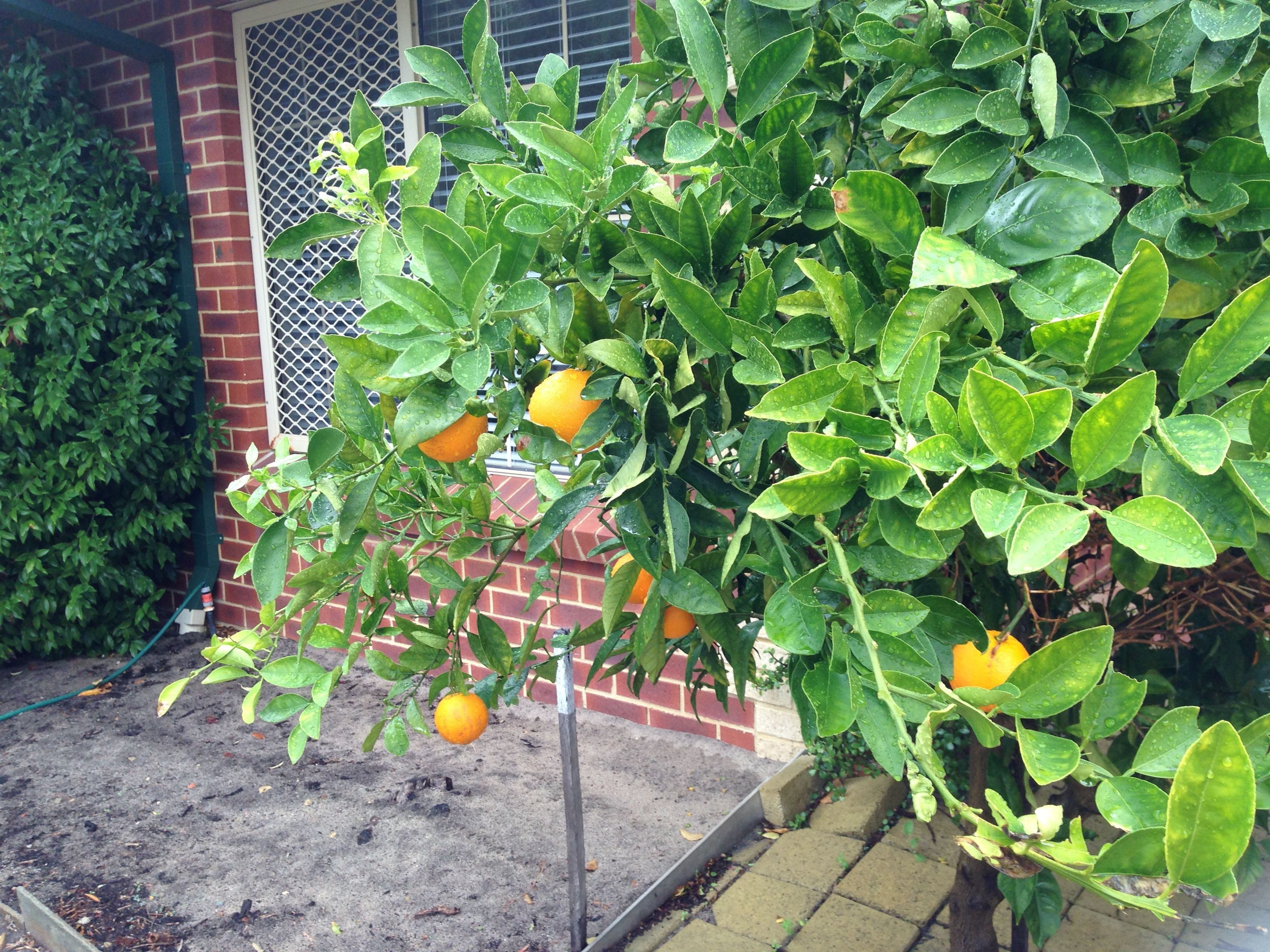 One of the 5 fruit-fruit trees in the garden.  This one had oranges and they were just delicious.