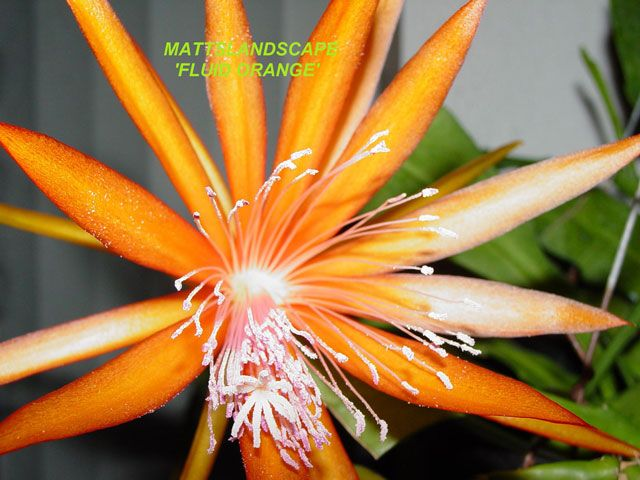 Epiphyllum Hybrid Fluid Orange Jardin De Plantes Grasses