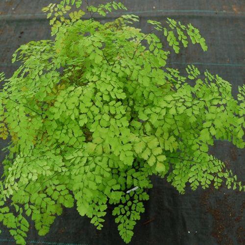 Fragrant maidenhair fern adiatum raddianum for Non toxic ferns