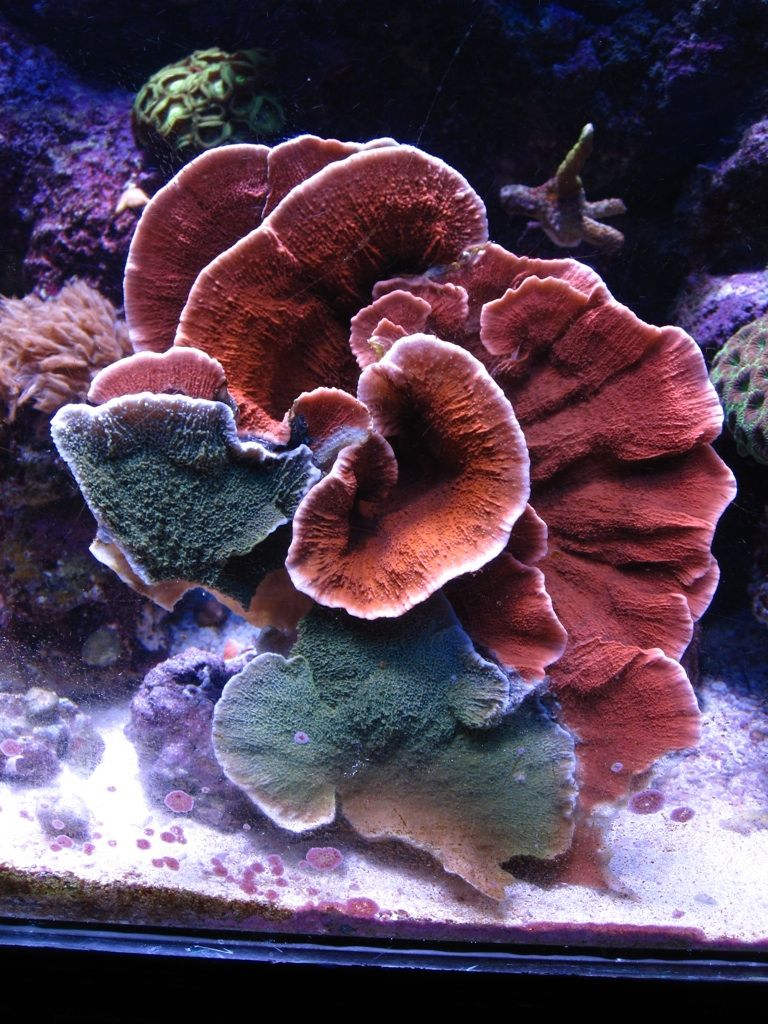 FS - Green and Red Monti monster, X-mas colors mash-up! - Reef ...