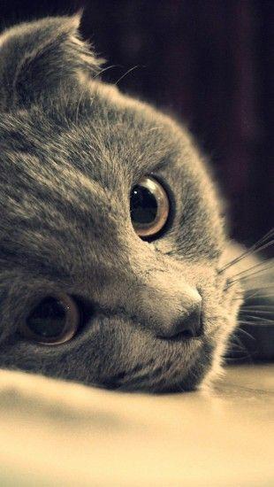 Gray Cat Face Close Up Iphone5 Wallpaper Ios7 Theiphonewalls Com Grey Cats Cute Cats Beautiful Cats