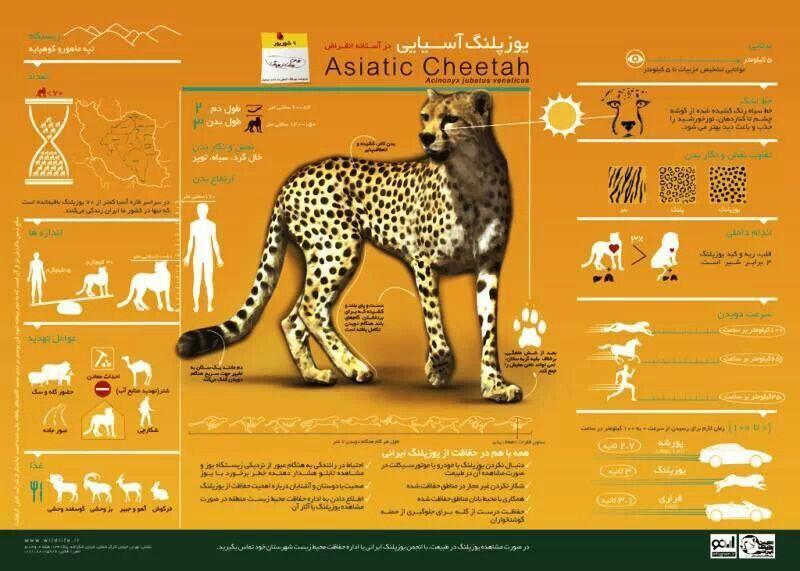 Lovely Cheetah Graphics Informational Chart Asian Leopard Cat Asiatic Cheetah Cheetah