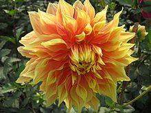 Dahlia Wikipedia The Free Encyclopedia Dahlia Beautiful Flowers Flowers