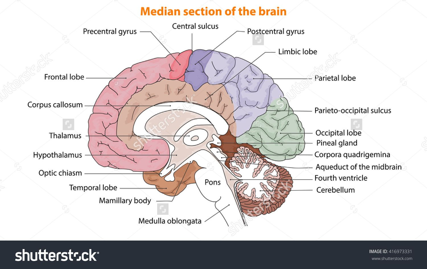 small resolution of human brain the brain median section of the brain anatomy of brain anatomy