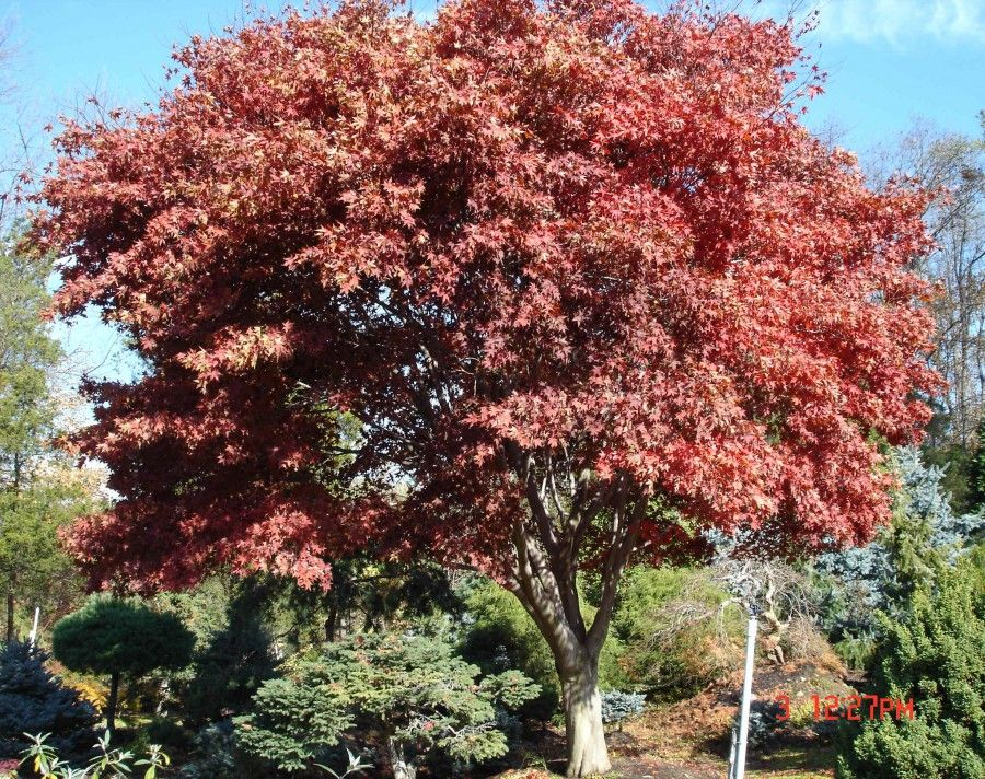 Giant ornamental specimen trees for sale in rockland for Maple trees for sale
