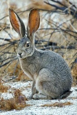 American Desert Hare   a.k.a. Jack Rabbit, Visitor's Center, Anza Borrego Desert State Park, Borrego Springs, California by alan/elaine wilson - Pixdaus