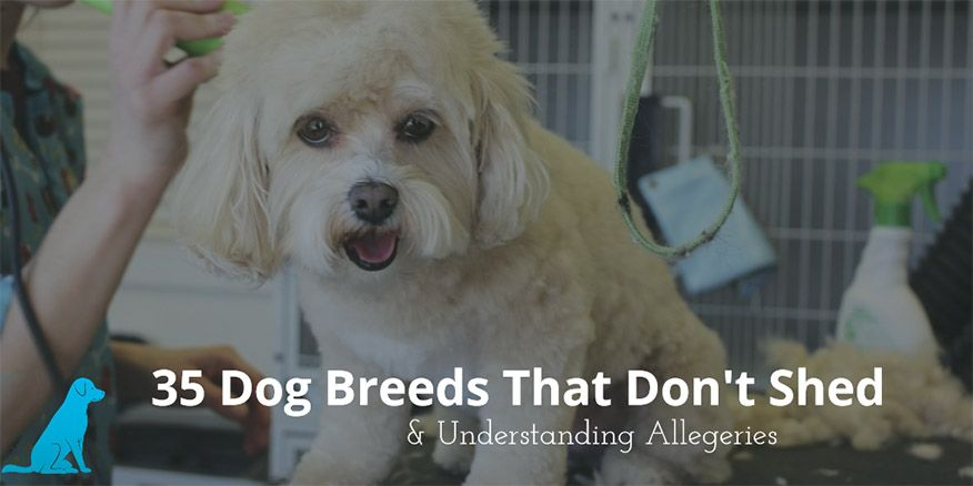 Large Dog Breeds That Dont Shed | 7 Non-Shedding Dogs