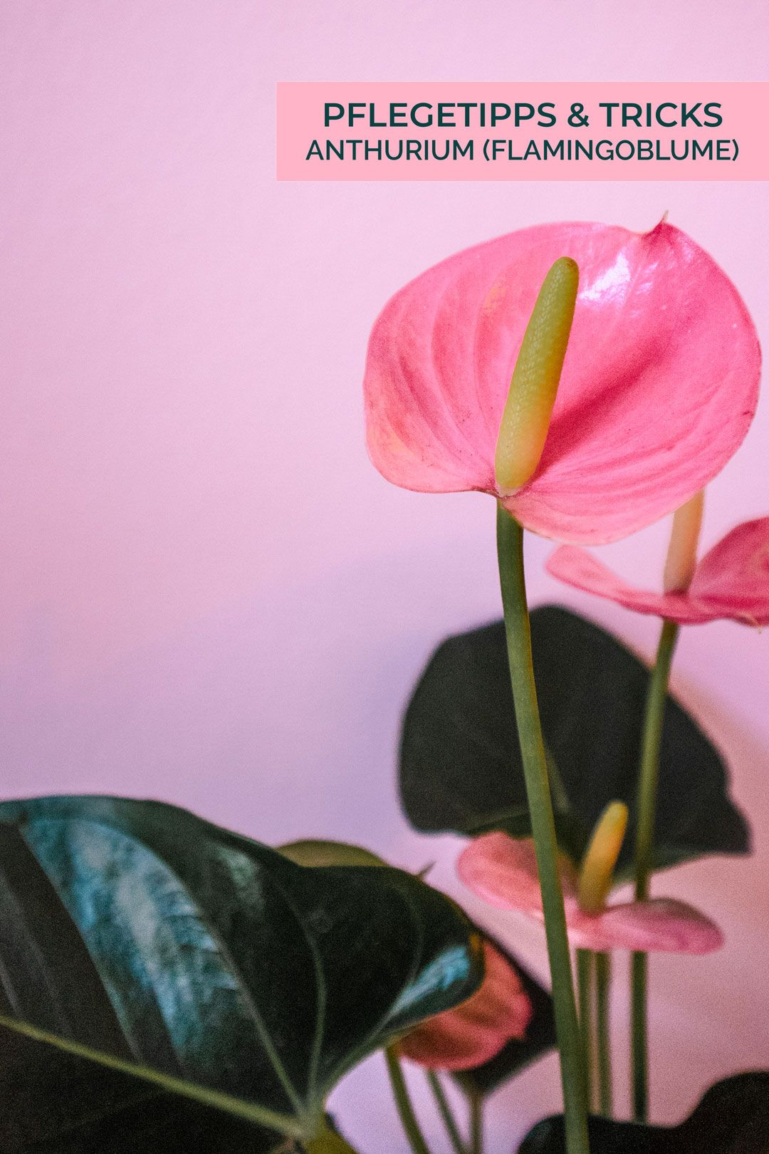 Anthurie Schneiden Pflegetipps Tricks Anthurium Flamingoblume 80er Plants