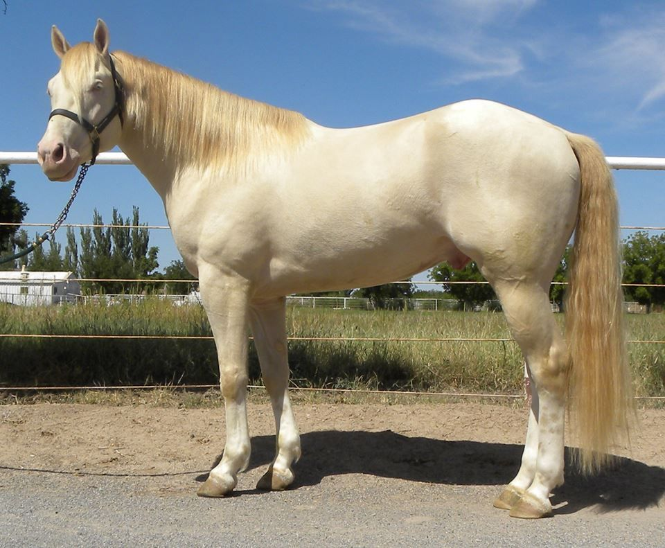 Color Me Quick Cash Homozygous Tobiano Smokey Cream Apha Stallion Ee Aa Crcr Credit To Maureen Christopher Out Of A Hz Tobi Bucksk Horses Stallion Equines