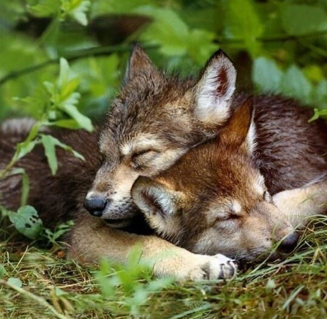 sweet dreams .....sweet dreams..... of a world in which we can be what we  are, wild and free | Animals, Baby wolves, Animals wild