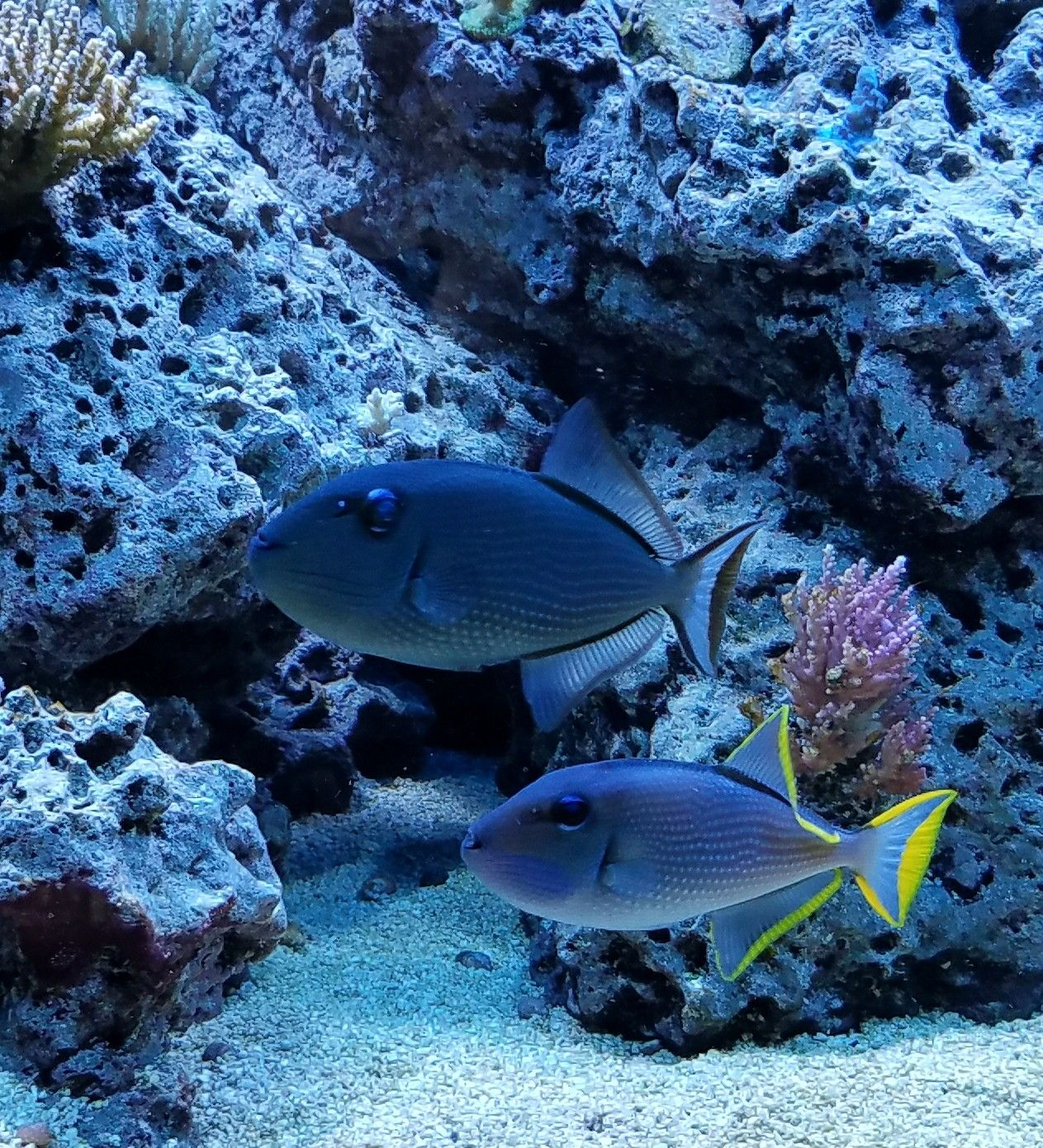 Male And Female Blue Throat Triggers Marine Fish Reef Aquarium Aquarium Fish