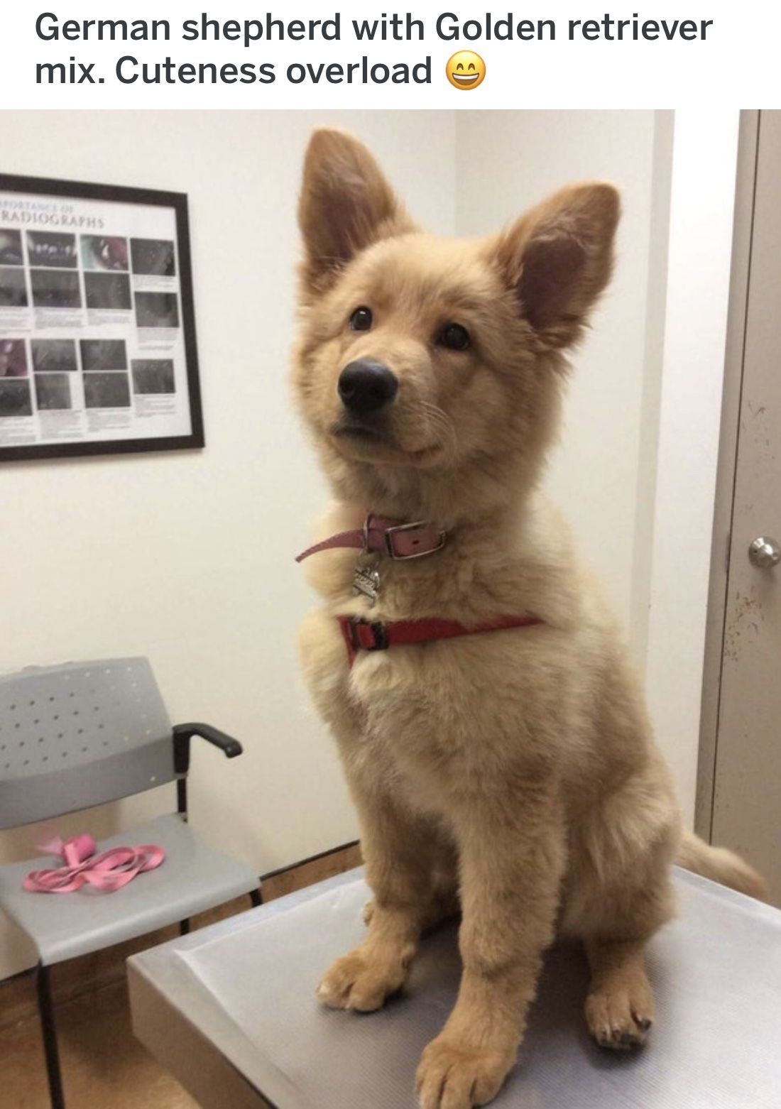 German Shepherd Mixed W Golden Retriever Shepherd Puppies