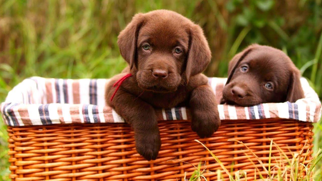 Labrador Retriever puppies playing. Do you think Labrador